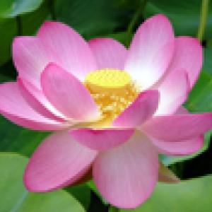 Antwerpen - Bloeiende Lotus